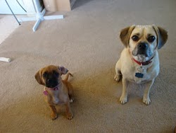 Apie šunis